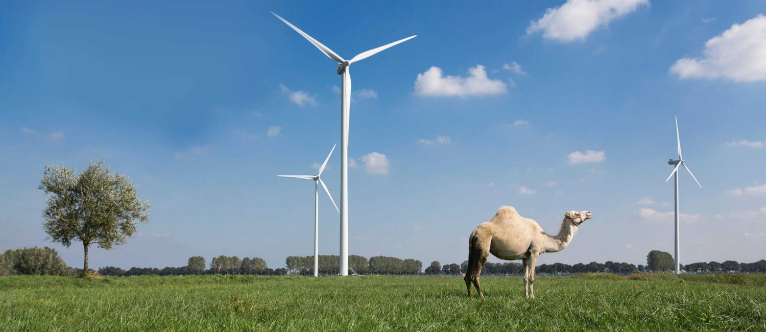 Dromedary standing in grass in front of wind turbines