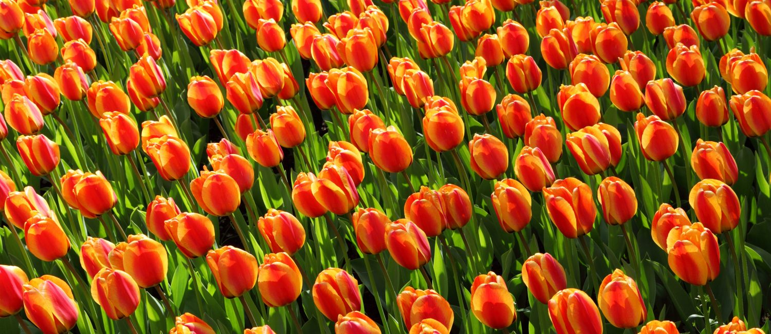 Field of red-yellow tulips