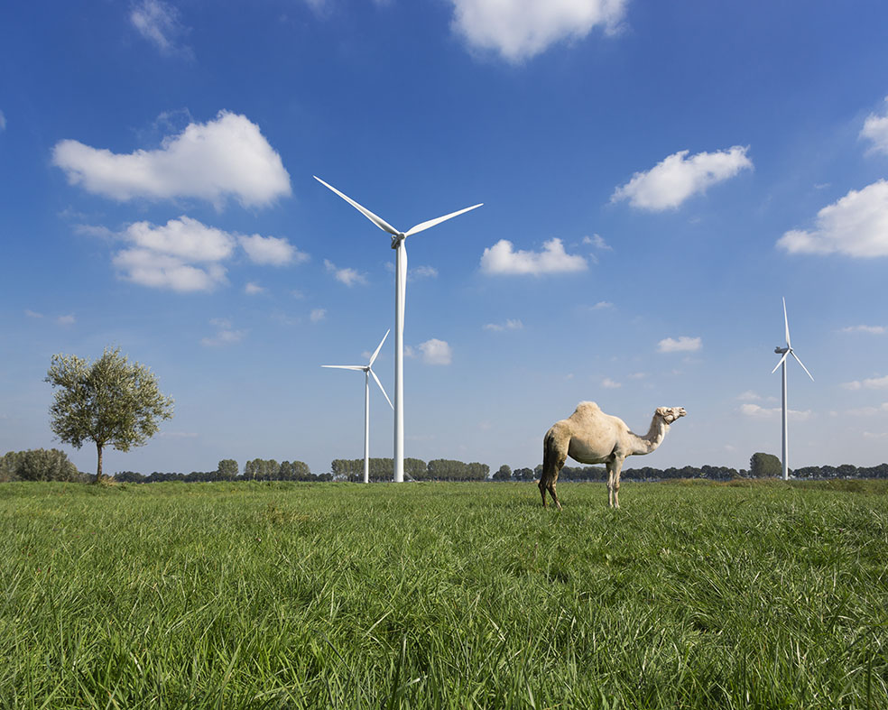 Dromedary standing in field of grass with wind turbines
