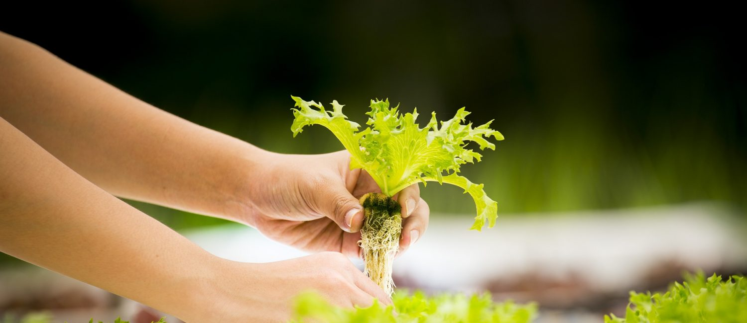 Hands holding a small lettuce plant