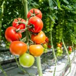 Red and green tomatoes growing on a vine in a greenhouse