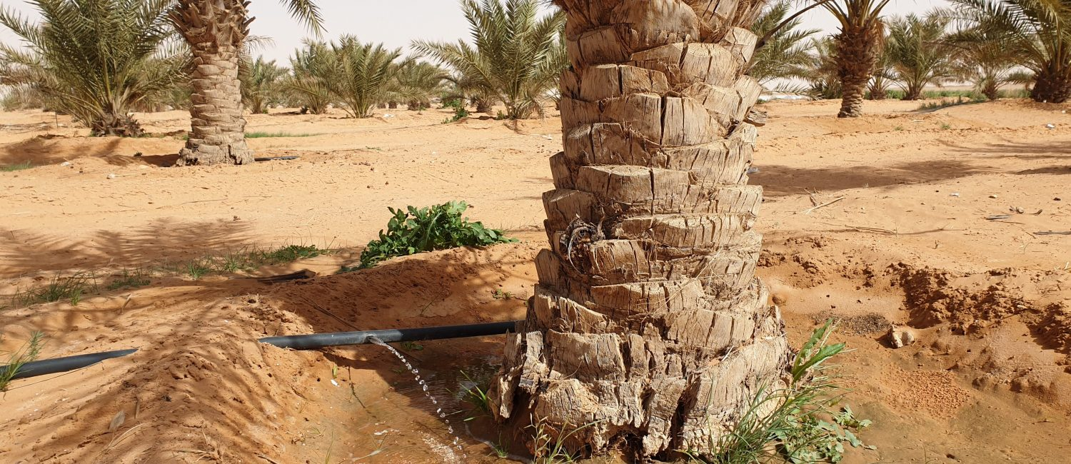 Irrigation system watering palm trees in dry landscape